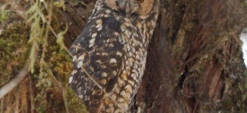 Elusive Abyssinian Owl Almost Confirmed on Mount Kenya Last Seen Fifty Years Ago