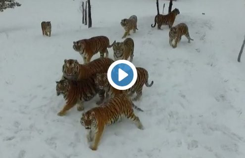 Tigers play after grabbing drone from the air
