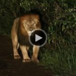Would you take a video of Rare Black-Maned Lion leaning from a car window?