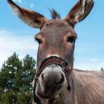 Donkey slaughterhouse - Abattoir - Ethiopia - Ethiopian News -